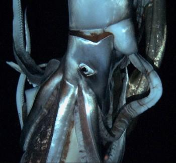Giant Squid: The Kraken Revealed